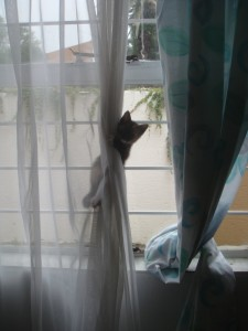 senior blog kitten climbing curtain 2