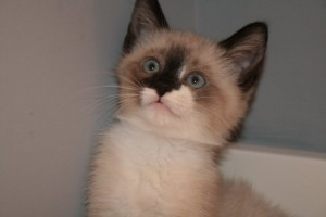 This is a photo of a Siamese cat that I fostered for a local rescue. They do come up in the rescue world more often than you'd think. -Becca M