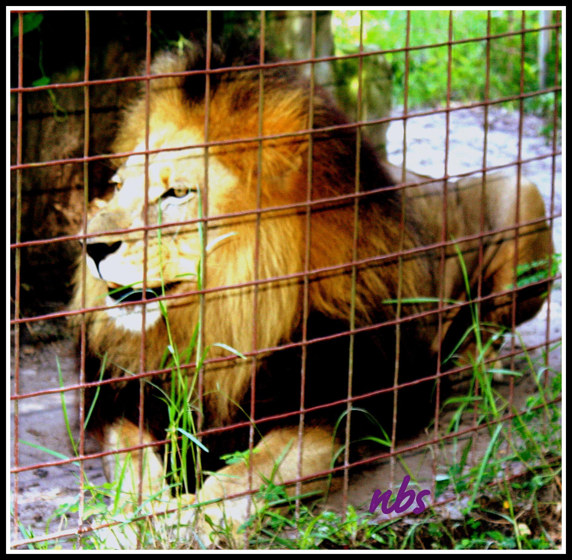 Cameron the Lion.  ~Photo courtesy Noelle B. Sparks