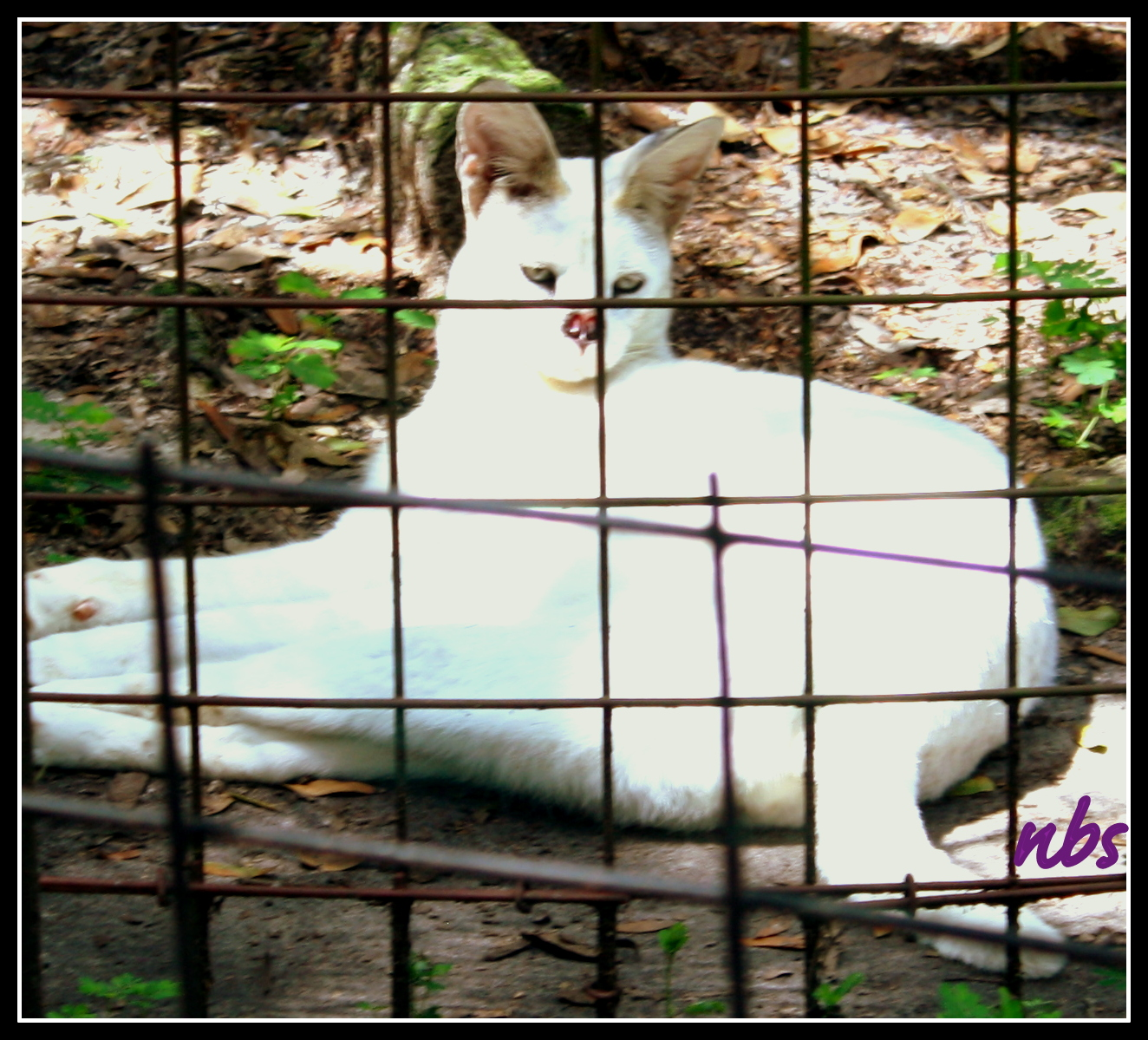 Tonga, one of only two white Servals in the world.  He had  was treated for squamous cell carcinoma at age 15. ~ Photo courtesy Noelle B.  Sparks